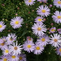 Asters (Michaelmas Daisy)