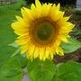 Sunflower_2_.jpg