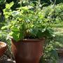 Garden_alpinestrawberry_08may22_01