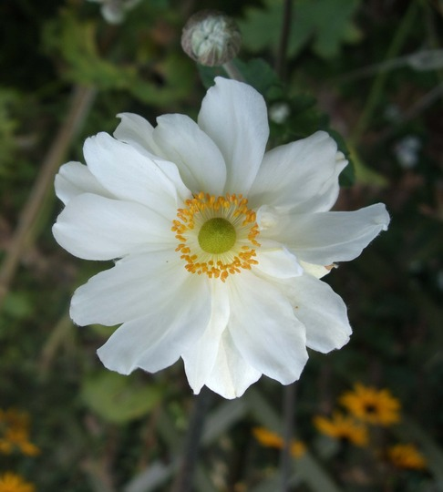 Anemone x hybrida 'Whirlwind' (Anemone x hybrida (Japanese anemone))