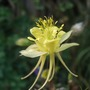 Aquilegia chrysantha (Golden Columbine)