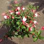 Sm_garden_fuschia_08may22_01