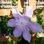 Clematis_crystal_fountain