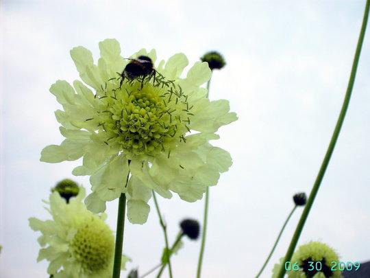 A garden flower photo (Cephalaria gigantea (Giant scabious))