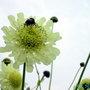 Cephalaria gigantea (Giant scabious)