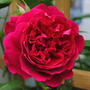 Rose - Tess of the D'urbervilles (Rosa)