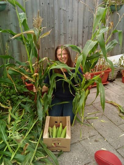 sweetcorn crop!