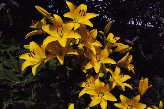 Lillies (Lilium)