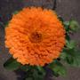 Pot Marigold (Calendula officinalis (English marigold))