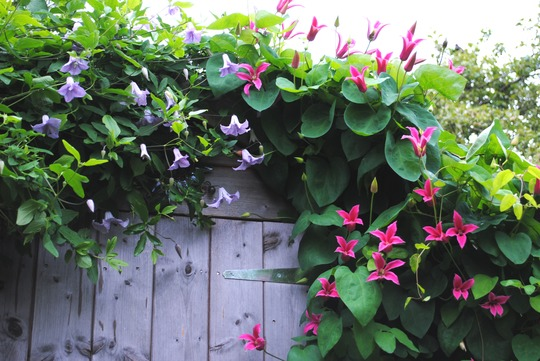 Clematis Shed Cover! (Clematis texensis (Scarlet Clematis))