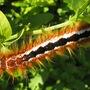 Eutricha_Capensis_Cape_Lappet_Moth larva