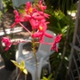 Epidendrum hybrids Orchids - Red Reed Orchid (Epidendrum hybrids Orchids - Red Reed Orchids)