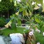 pink brugmansia (brugmansia)