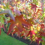 "close up (Liquidambar styraciflua (Sweet gum) ""Stella"")"