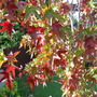 "another close up (Liquidambar styraciflua (Sweet gum) ""Stella"")"