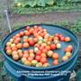 Allotment Tomatoes Gardener's Delight (1kg 900g-4lb 4oz) 16th August 2010 (Solanum lycopersicum (Tomato))