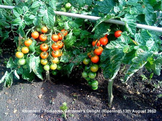 Allotment Tomatoes Gardener's Delight Ripening 13th August 2010 (Solanum lycopersicum (Tomato))