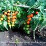 Allotment_tomatoes_gardener_s_delight_ripening_13th_august_2010