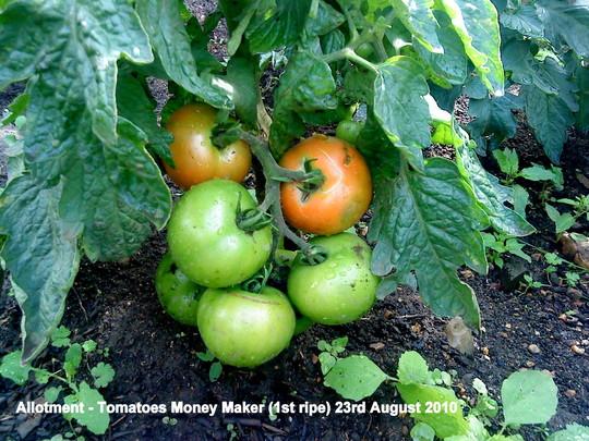 Allotment Tomatoes Money Maker 1st ripe 23rd August 2010 (Solanum lycopersicum (Tomato))