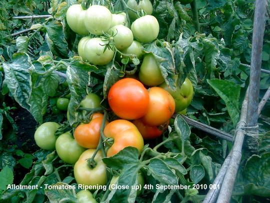 Allotment Tomatoes Ripening Close up 4th September 2010 001 (Solanum lycopersicum (Tomato))