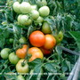 Allotment_tomatoes_ripening_close_up_4th_september_2010_001