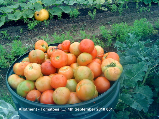 Allotment Tomatoes 4th September 2010 001 (Solanum lycopersicum (Tomato))