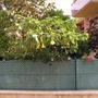 Brugmansia in Malgrat de Mar, Spain (Brugmansia suaveolens (Maikoa))