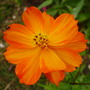 bright lights (Cosmos sulphureus (Cosmea Bright Lights))