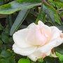 PINK ROSE ON TRELLIS