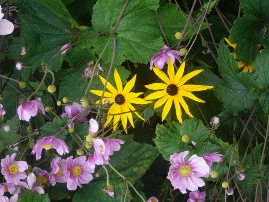 rudbeckia 'goldsturm' (Rudbeckia 'Goldsturm')