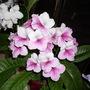 Streptocarpus  Pink Leyla