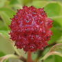 Cornus_kousa_chinensis_seed_head
