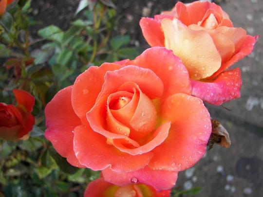 Roses_at_Rosemoor_1.jpg