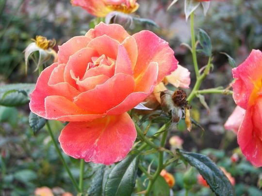 Roses_at_Rosemoor_3.jpg