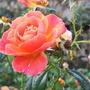 Roses_at_rosemoor_3