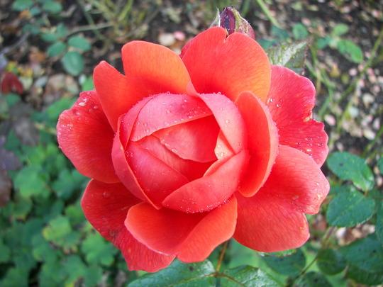 Roses_at_Rosemoor_2.jpg