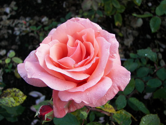 Roses_at_Rosemoor_4.jpg
