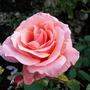 Roses_at_rosemoor_4