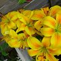 GOLDEN LILLIES