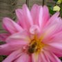 BEE ON PETAL OF PINK  DAHLIA