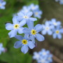 Forget-Me-Nots (Myosotis scorpioides (Water forget-me-not))