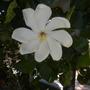 Gardenia thunbergia - South African Gardenia (Gardenia thunbergia - South African Gardenia)