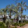 Butia capitata and one Bismarckia nobilis - Jelly Palms and Bismarck Palm (Butia capitata, Bismarckia nobilis)