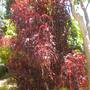 Acalypha wilkinsiana 'Raggedy Ann' - Raggedy Ann Copper Plant (Acalypha wilkinsiana 'Raggedy Ann' - Raggedy Ann Copper Plant)