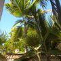 Dictyosperma album - Princess or Hurricane Palm (Dictyosperma album - Princess or Hurricane Palm)