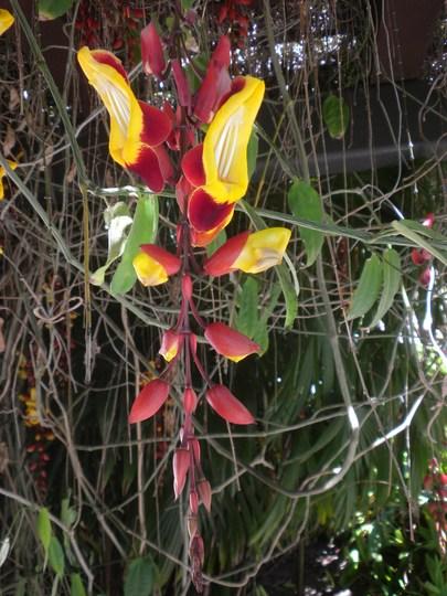 Thunbergia mysorensis - Clock Vine (Thunbergia mysorensis - Clock Vine)
