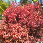 Acalypha wilkinsiana 'Inferno' - Inferno Copper Plant (Acalypha wilkinsiana 'Inferno' - Inferno Copper Plant)