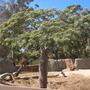 Delonix decaryi - Bottle Tree (Delonix decaryi - Bottle Tree)