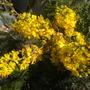Peltophorum africanum - African Wattle (Peltophorum africanum - African Wattle)