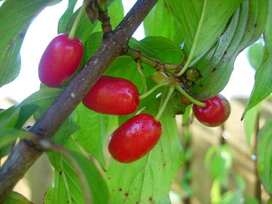 Fruits of Cornus Mas (Cornus Mas)